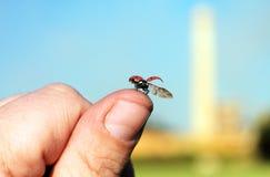 Flying ladybug Royalty Free Stock Photos
