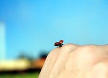 Flying ladybug Royalty Free Stock Image