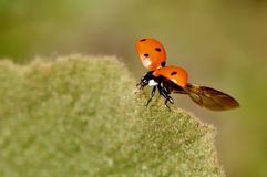 Flying ladybug Royalty Free Stock Images