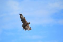 Flying Lanner falcon Stock Photo