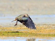 Flying lapwing above lake shore Stock Image