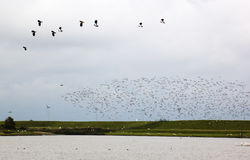 Flying lapwings in the dutch Polder Breebaart Royalty Free Stock Images