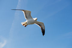 Flying Larus Stock Photo