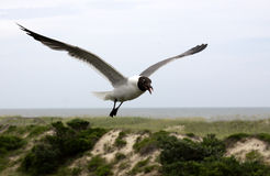 Flying Laughing Gull Royalty Free Stock Photos
