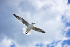 Flying laughing gull or sea gull in the blue sky with white clouds. Piture taken on the coast of Baltic sea in the East Germany Royalty Free Stock Photo