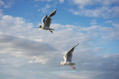 Flying laughing gull or sea gull in the blue sky with white clouds. Piture taken on the coast of Baltic sea in the East Germany Royalty Free Stock Images