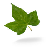 Flying Leaf. Isolated leaf with a light gray shadow Stock Image