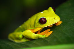 Free Flying Leaf Frog, Agalychnis Spurrelli, Green Frog Sitting On The Leaves, Tree Frog In The Nature Habitat, Corcovado, Costa Rica Stock Photos - 70943863