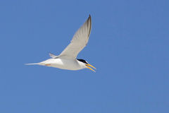 Flying Least Tern Royalty Free Stock Photography