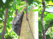 Flying Lemur or Colugo. A Flying Lemur resting on a tree trunk during the day Royalty Free Stock Photography