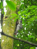 Flying Lemur or Colugo. A Flying Lemur resting on a tree trunk with it`s baby during the day Stock Image