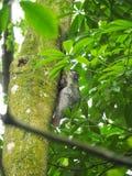 Flying Lemur or Colugo Stock Image