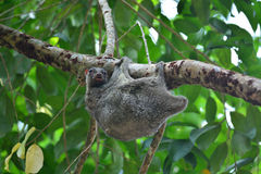 Flying Lemur. (Galeopterus variegatus) clings to a tree and rests during the day (nocturnal animal), in Mu Ko Surin National Park, Thailand royalty free stock images