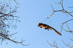 Flying lemur. The red-fronted lemur (Eulemur rufifrons) flying through the sky in Kirindy Mitea National Park, in Madagascar Royalty Free Stock Photography