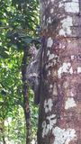 Flying lemur on a tree trunk royalty free stock photography