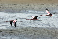 Flying Lesser Flamingoes Stock Images