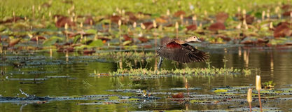 Flying lesser whistling duck (Dendrocygna javanica) Royalty Free Stock Image