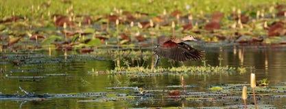 Flying lesser whistling duck (Dendrocygna javanica) Royalty Free Stock Image