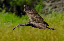 Flying Limpkin  Stock Images