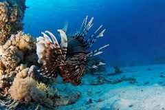 Flying lion fish - Red Sea. This underwater picture was taken on the St John's reef off Egypt in the Red Sea Stock Images