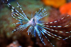 Flying Lion Fish in Wild Sea Royalty Free Stock Photos