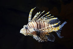 Flying lionfish (Pterois volitans) Royalty Free Stock Photo