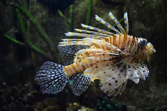 Flying lionfish (Pterois volitans) Royalty Free Stock Photography