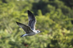 Flying little gull Stock Image