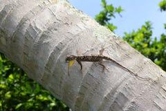 Flying lizard on the coconut tree. Stock Photos