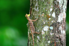 Flying lizard perch on a tree Stock Photo