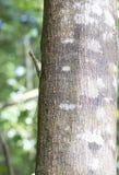 Flying lizard at Tangkoko national park Stock Photos