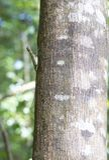 Flying lizard at Tangkoko national park. Sulawesi, Indonesia Stock Photos