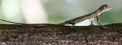 Flying lizard at Tangkoko national park. Sulawesi, Indonesia Royalty Free Stock Photos