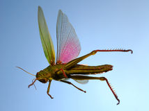 Flying locust Royalty Free Stock Image