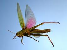 Flying locust Royalty Free Stock Image