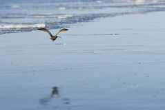 Flying long-billed curlew Stock Photo