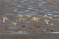 Long-billed dowitcher. Flying long-billed dowitcher at Richmond BC Canada 2017 Sep Royalty Free Stock Photo