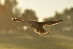 Flying long-eared owl. Long-eared Owl flying away in sunrise Stock Photography