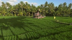 Flying at low altitude over beautiful rice paddy fields with hut on sunset stock video