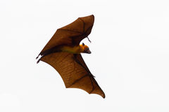 Flying Lyle's flying fox (Pteropus lylei) Royalty Free Stock Photo
