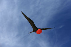 Flying Male Frigate Bird Male during mating season. Stock Photo