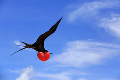 Flying Male Frigate Bird during mating season. Royalty Free Stock Photography