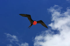 Flying Male Frigate Bird during mating season. Royalty Free Stock Images