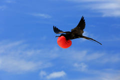 Flying Male Frigate Bird during mating season. Stock Photo