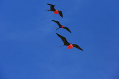 Flying Male Frigate Birds during mating season. Royalty Free Stock Photos