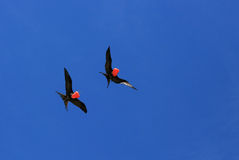 Flying Male Frigate Birds during mating season. Stock Photography