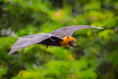 Flying male Lyle's flying fox Stock Image