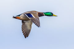 Flying male Mallard duck. Flying male  Mallard duck (Anas platyrhynchos) against light blue sky Stock Photos