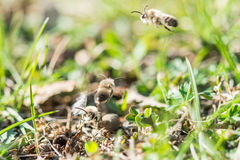 Flying male mining bee looking for some female bee.  royalty free stock photography