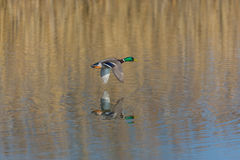 Flying male northern mallard duck anas platyrhynchos over wate Royalty Free Stock Images